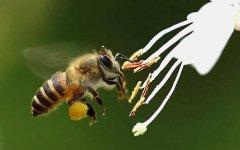蜂群中的工蜂是公的还是母的?