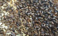 越冬蜂什么时间喂糖效果好?