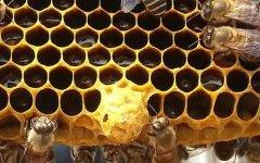 蜂群怎样介入王台易接受?