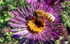 蜜蜂采蜜怎么变成蜂蜜?