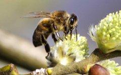 工蜂采蜜飞多远?