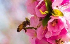 蜜蜂啃咬巢础是啥原因
