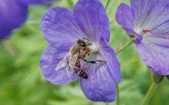 蜜蜂采蜜是为了什么?