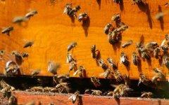 怎么辨别侦查蜂?