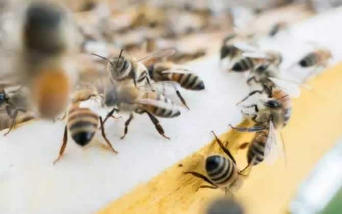 侦查蜂一般在什么地方出现