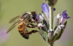 一箱蜜蜂一天吃多少糖?