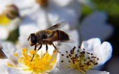 蜜蜂自然分蜂一般飞多远?