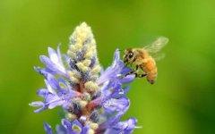 蜜蜂采蜜是什么季节?春季还是夏季?