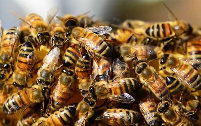 蜜蜂工蜂和雄蜂的区别