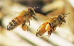 工蜂的寿命有多长?
