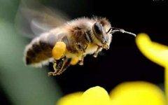 蜜蜂多久出一批工蜂?
