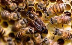 蜂王与工蜂的外形区别?
