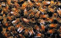 蜂群中工蜂围王蜂王多久会死?