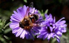 蜜蜂侦查蜂能飞多远?