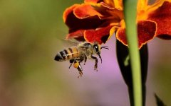 工蜂和蜂王的区别