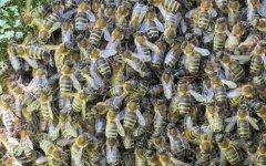 蜂王一天能产多少卵?