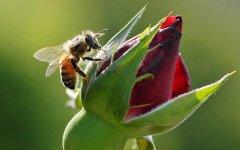 蜂王死了蜜蜂会怎样?