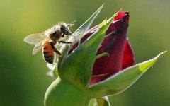 蜂王死了蜂群怎么办?