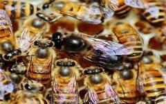 雄蜂有什么特点?