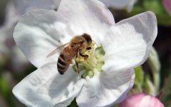 养蜜蜂如何培育蜂王?