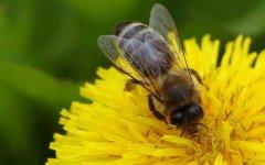 工产群怎样介入蜂王?