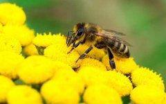 被蜜蜂蛰了怎么处理才好?