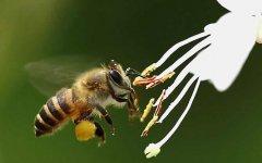 蜜蜂的习性及发育过程