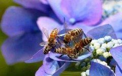 蜜蜂失王了几天飞走?
