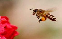 中蜂蜂群出售多少价一箱?