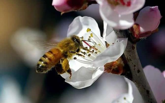 100亩花需要多少箱蜜蜂