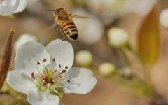 蜜蜂酿蜜要用多少花?