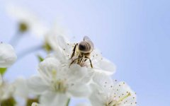 牛粪对蜜蜂的吸引力是真的吗?