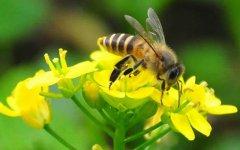 蜜蜂一生能采多少蜂蜜?