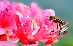 蜜蜂养殖利润如何?
