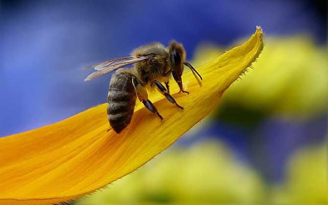 侦查蜂每天都来诱蜂箱看吗