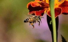 梦见蜜蜂是什么预兆?