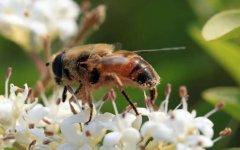 蜜蜂会发现蜂蜜没有了吗?