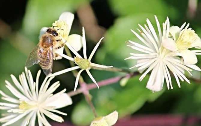 野蜂可以和弱群合并吗?