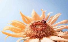 蜜蜂养殖技术之秋季蜂群管理技巧