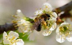 蜜蜂养殖怎么控制分蜂热现象?