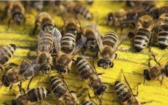 南方中蜂在饲养过程中的雄蜂管理方法