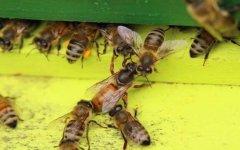 蜂王交尾的时间是什么时候?