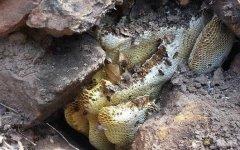 野生蜂群能存活多久?