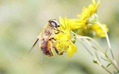 中蜂烂子病的病因是什么?