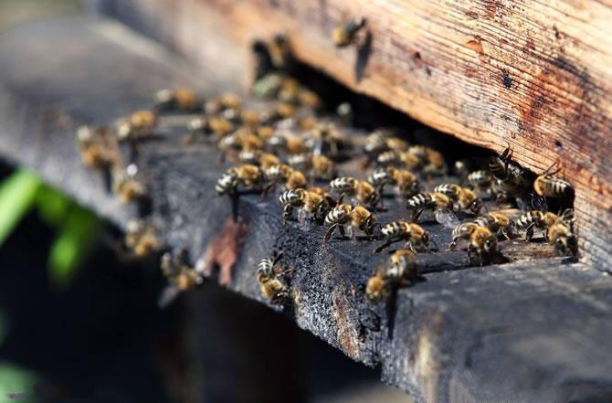 珲春黑蜂蜂王