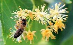 被蜜蜂蛰了为什么找不到刺?