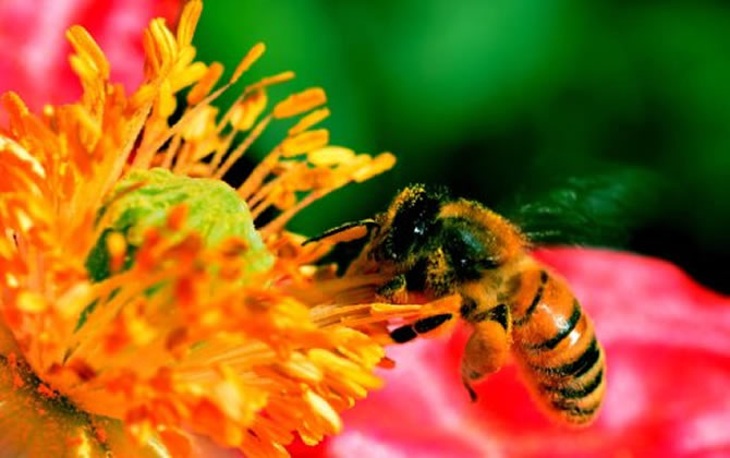 蜜蜂的象征意义