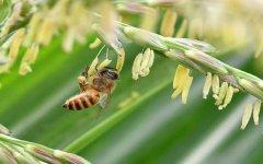 新手养意蜂好还是中蜂好?