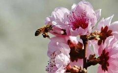 新手养蜂蜜蜂从哪里来?
