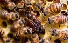 新手养蜂怎样获得蜂王?
